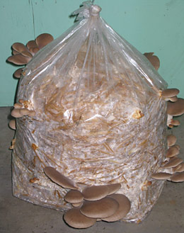 Indoor mushroom cultivation